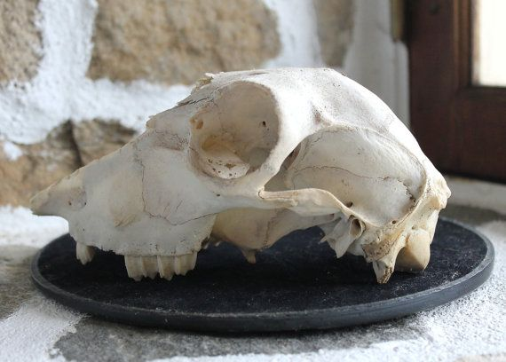 Vintage Ewe Sheep Skull, by TheWitchChandlery on Etsy