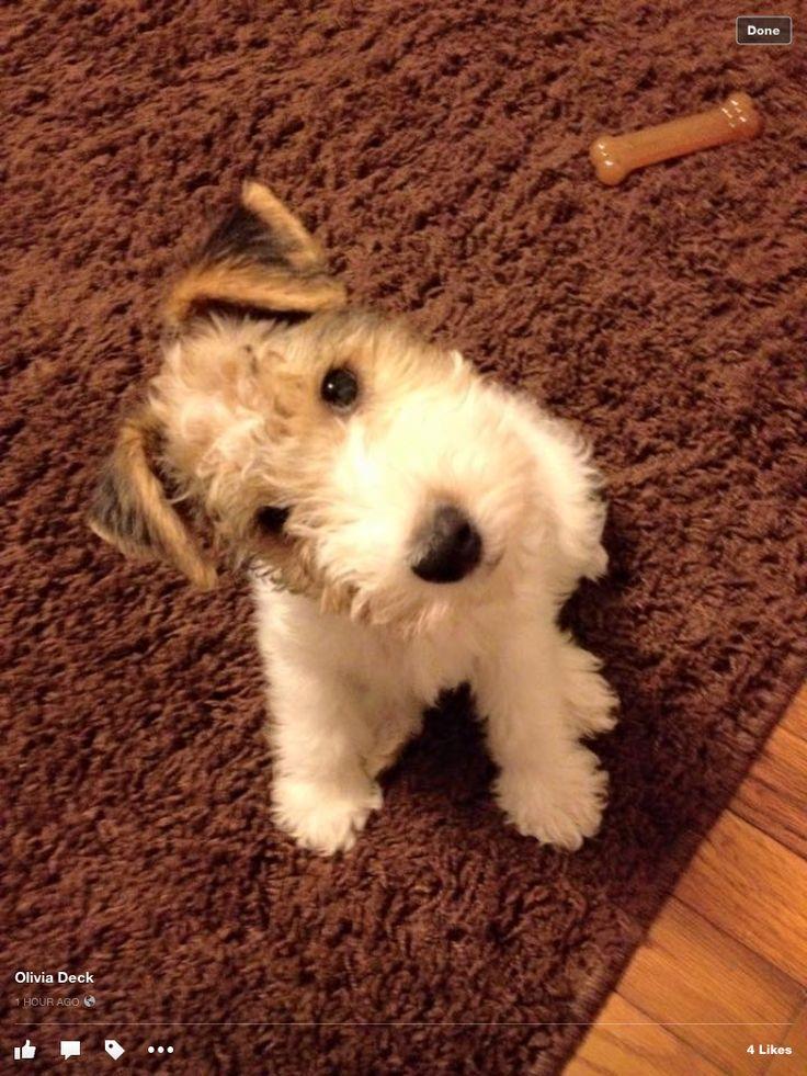 Wire fox terrier puppy head tilt...Love!!!