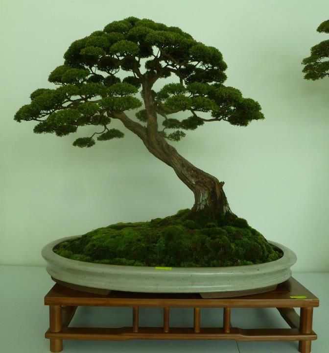 17 best images about little trees in pots bonsai. Black Bedroom Furniture Sets. Home Design Ideas