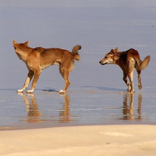 Fraser Island... dingos.....