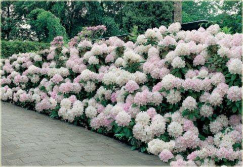 rhododendron cunninghams white garden pinterest. Black Bedroom Furniture Sets. Home Design Ideas