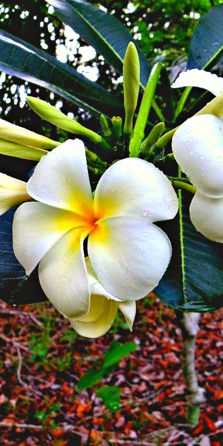 688 best jepun images on pinterest plumeria flowers tropical plumeria are some of most exotic and beautiful plants and easy to grow dhlflorist Images