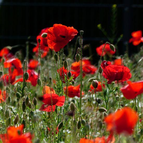Rote Mohnblumen, Feld