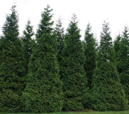 Thuja green giant gardening pinterest Green giant arborvitae