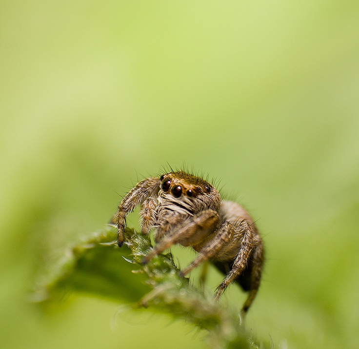 A jumping spider. Very difficult to find and easy to lose.