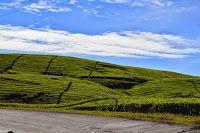 Kerinci Summit: Tea Plantation (Kayu Aro)