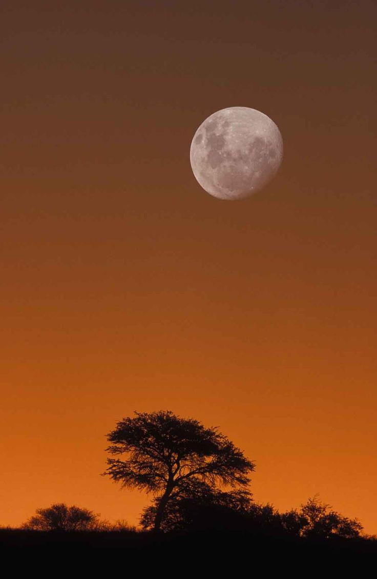 Kalahari Scene, Moon and camelthorn tree at dusk, Kgalagadi Transfrontier Park, South Africa