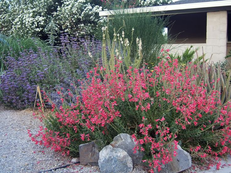 2 kinds of salvias - drought tolerant