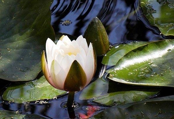 lacul-cu-nuferi-si-lotusi-termali-din-baile-felix