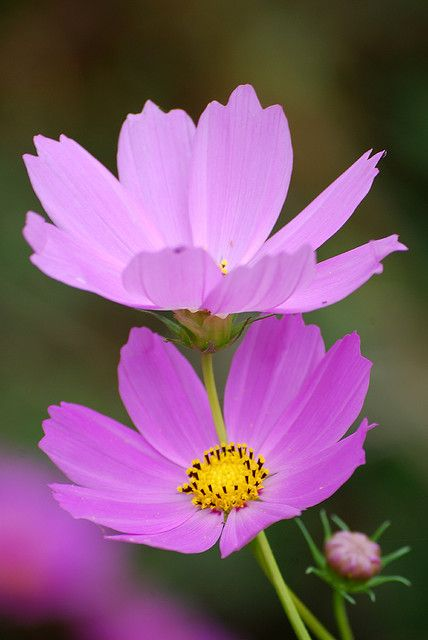 Cosmos - purple grows well in hot dry weather