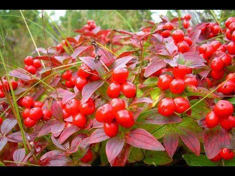Самые ядовитые ягоды России