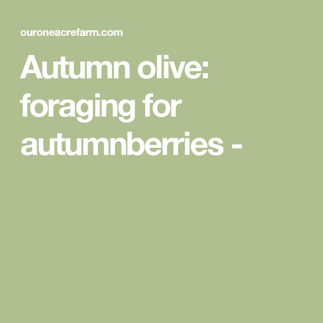 Autumn olive: foraging for autumnberries -