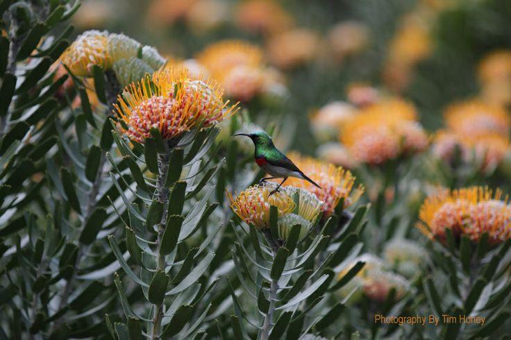 Southern Double-Collared Sunbird (Cinnyris chalybeus) at Kirstenbosch, Cape Town [52004]  www.timhoney.co.za