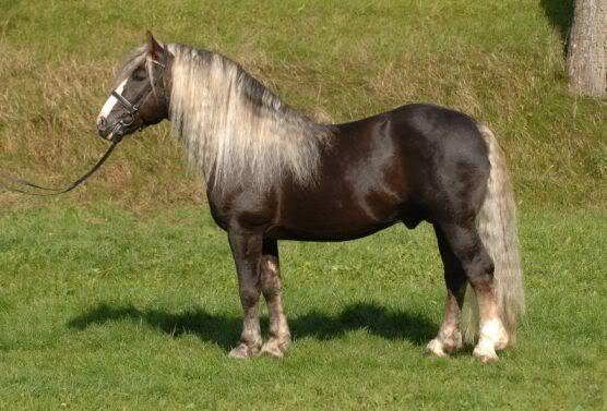 BLACK FOREST HORSE (SCHWARZWÄLDER KALTBLUT)