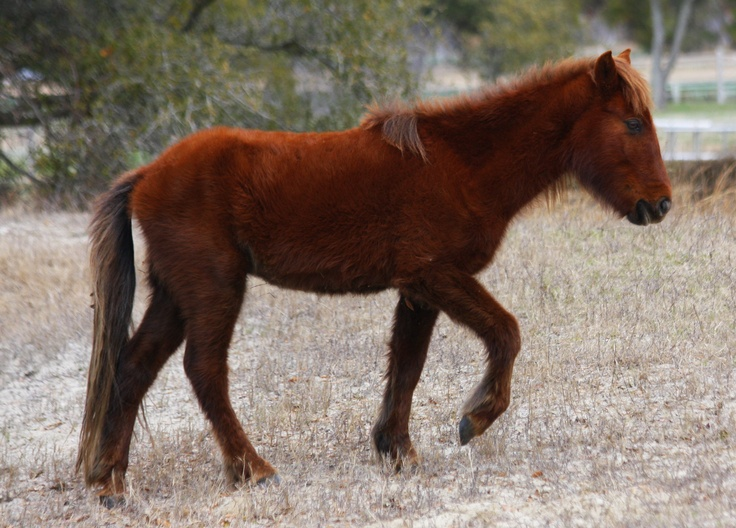 A young wild horse spotted when we visited Corolla, North Carolina.