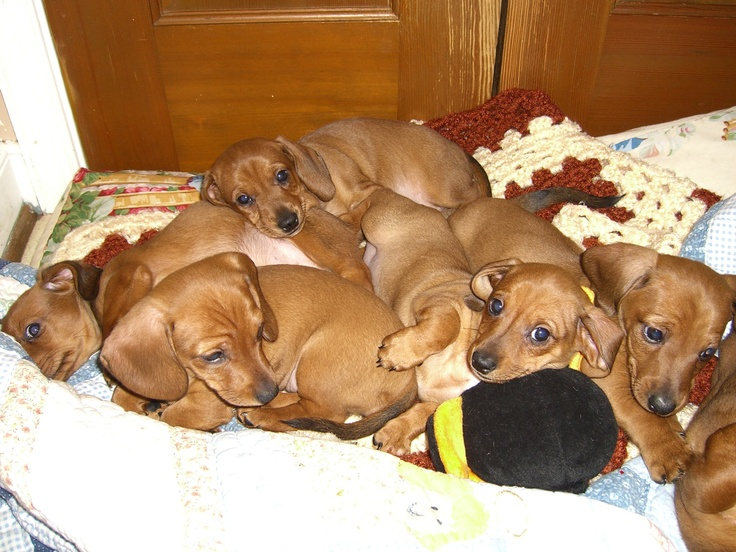 Is there anything more adorable than a litter of dachshund puppies?