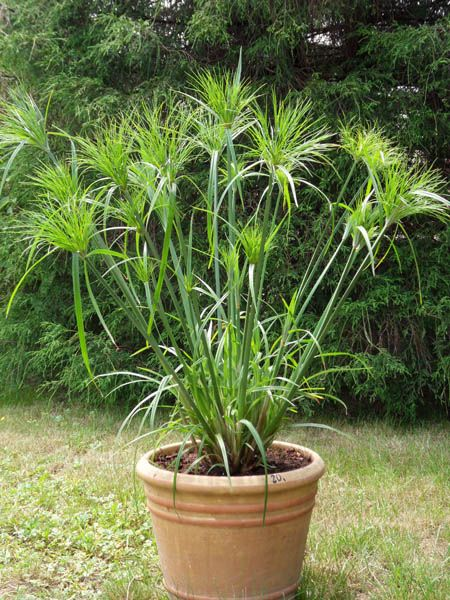 16 best images about king tut grass on pinterest cyperus for Ornamental grass in containers for privacy