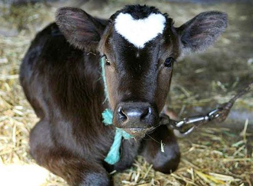 Calf with a heart on her head! Reminds me of a cow I used to have who had a small heart on her head too!