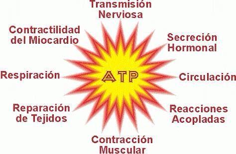 Adenosindifosfato (ATP)