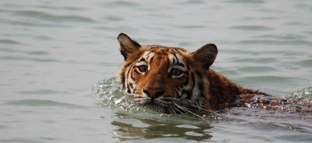 Tiger Swimming in Sunderbans National Park