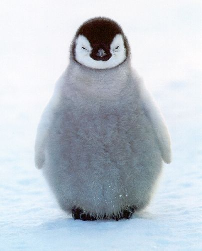 PenguinFluffy, Happy Feet, Happyfeet, Pets, Baby Animal, Adorable, Things, Emperor Penguins, Baby Penguins