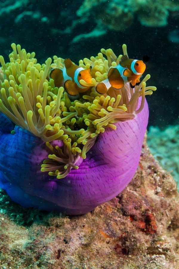 52 best images about Anemone - We love ANEMONONEMONOOMEs