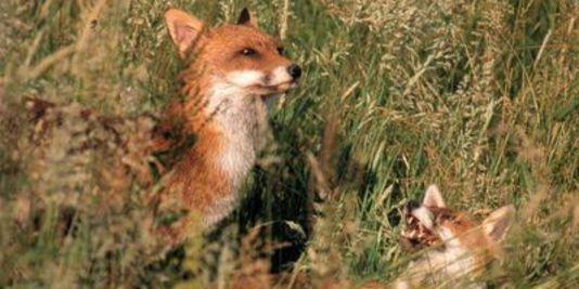 Quand la chasse au renard devient une « fête » - La Fédération des chasseurs du Nord appelle à chasser le goupil les 22 et 23février - Le Monde