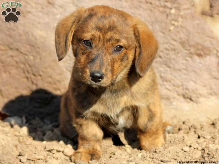 Dorgi puppies for sale in pa