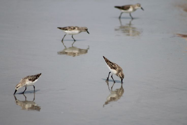 Plovers, Sand Pipers, birds. Photo by Deb Jencks