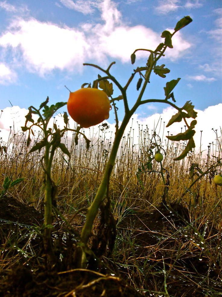 """Una cosa poca del sur.  La sequía en la región de La Araucanía: esas neblinas al amanecer combinadas con el poderoso señor sol, terminan afectando el crecimiento de los cultivos y/o """"cociendo"""" las plantas... exótico proceder del clima por estos días.  ---- © Claudia Mellado Ñancupil"""