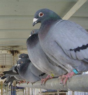 3/4/13 Homing Pigeons May Hear Their Way Home on Proslogion