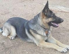 Kevis is available for adoption at German Shepherd Rescue of Northern California.  He's a 1 year old and is AKC registered and well trained. He is great with dogs - he has to be as he's living with 7 others at his foster moms!    http://www.gsrnc.org/