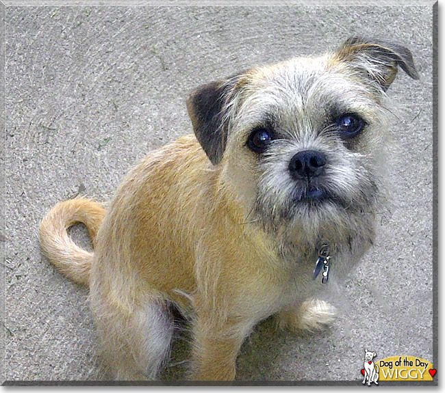 Read Wiggy's story the Brussels Griffon, Pug from Chatham