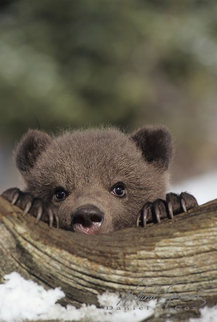 Grizzly Bear (Ursus horribilis) cub during early spring in Montana. Captive Animal