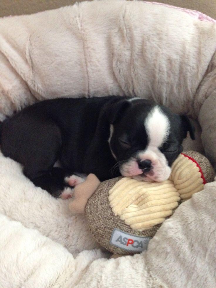 5 week old Bostie pup!