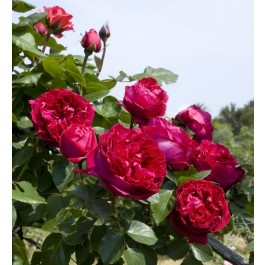 A charming climbing rose, that reminds us of Pierre de ronsard, with its classic shaped flower, a purple red color and a strong fragrance. It is very disease resistant and flowers abundently. At maturity, it reaches 2m+ and the flower has got around 100 petals  http://www.famousroses.eu/en_garden_roses/eric-tabarly-meilland.html