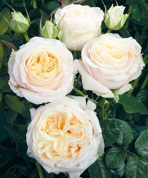 Růže ´My Girl´ - voňavá. Rosa. Smetanově bílé, plné a obzvláště velké květy s jemnou vůní. Výška: asi 80 cm