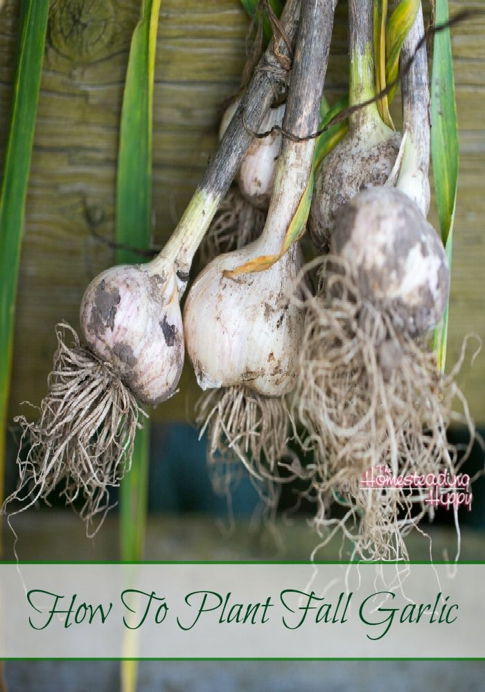 It's fall and you know what that means…Time to Plant Your Garlic Garlic is hands down the most easy plant to grow and care for. It is beautiful, the smell is intoxicating, and I can't name a dish I don't like it in!When I first started growing garlic I thought it was a sham! How… [read more]