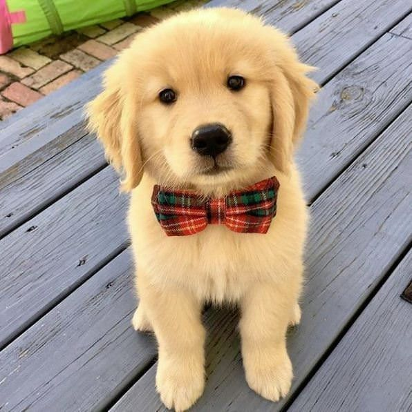 Gold Retriever Puppy Looking So Cute And Handsome In His Bow Tie