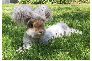 Az angyalszárnyfülű nyúl az Instagram legújabb állatsztárja