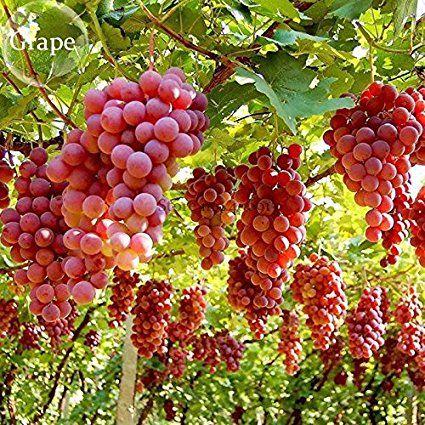 Solution Seeds Farm New Hierloom Mixed Grape Vitis Vinifera Vine Delicious Fresh Fruit, 30 seeds, organic grape fruits