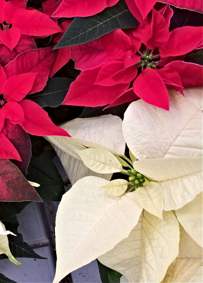 Nobody Wants To Receive A Poinsettia Plant As A Gift This Holiday Only To Have It Die Before Christmas Avoid That Fate With These Tips For Poinsettia Plant Euphorbia Flower