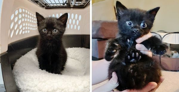 Man Hears Kitten S Cries And Rescues Him From Roadside Just In Time Kitten Rescue Tiny Kitten
