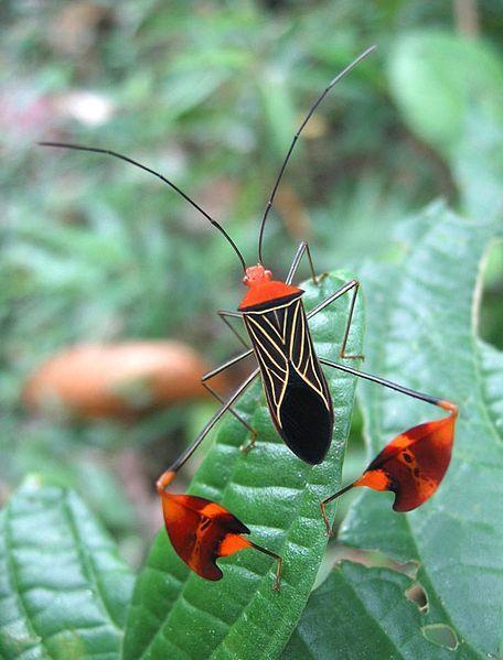 A leaf-footed bug Anisocelis flavolineata[1] (Rhynchota: Coreidae). The specimen was found near Santa Fé (Veraguas Province, Panamá).