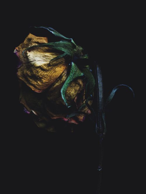 Decaying rose shot by BILLY KIDD, using a Canon EOS 5D Mark II.