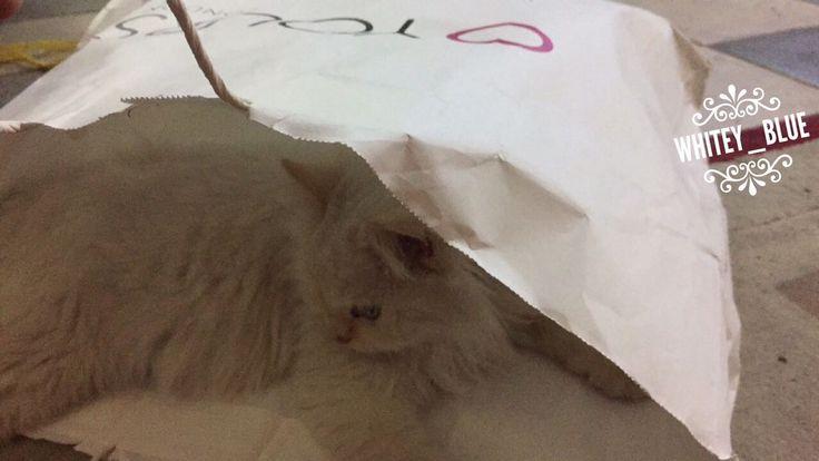 #ragdoll #cät #birmancat #sleepingcat  #americancat #ragdollcat #catpaws #ragdollsofinstagram #ragdollkitten #կատու #котка #kedi #گربه #rescuedkitty #cateating #猫 #pusa #katze #γάτα #gato #pişik #popoki #kucing #बिल्ली #cica  #kit #kaķis #بزونه #고양이