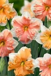 Narcissus Butterfly Mixed - Daffodil Bulbs
