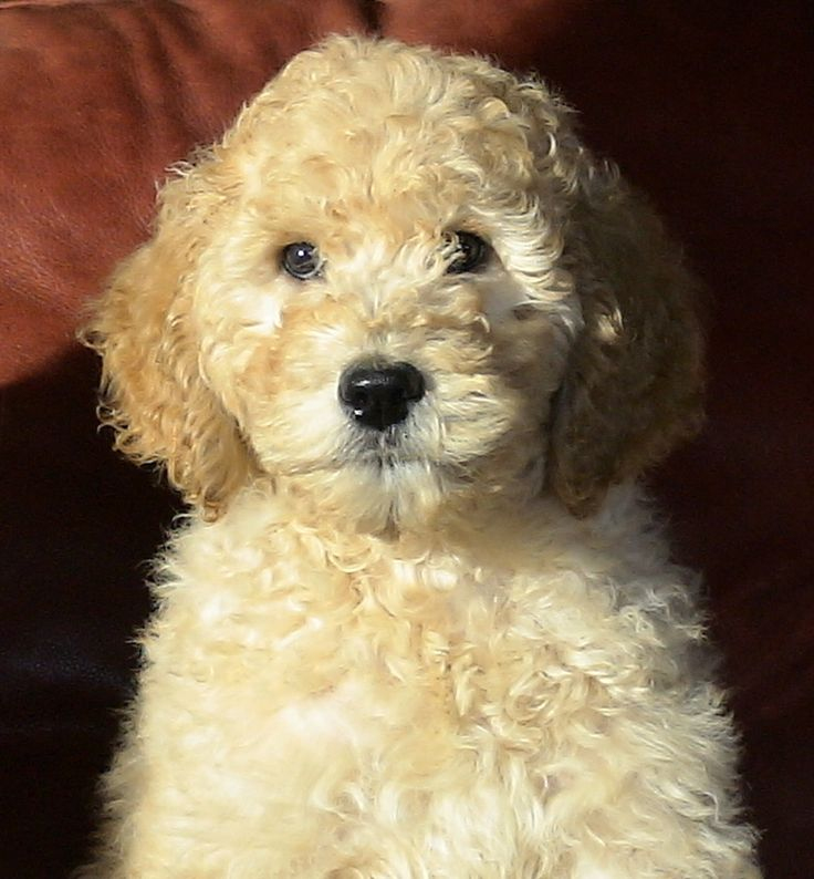 : Australian Labradoodle, Labradoodle Puppies, Dogs, Little Puppies, Dachshund Puppies, Teddy Bears, Golden Doodles Puppies, Goldendoodles, Farms Labradoodle