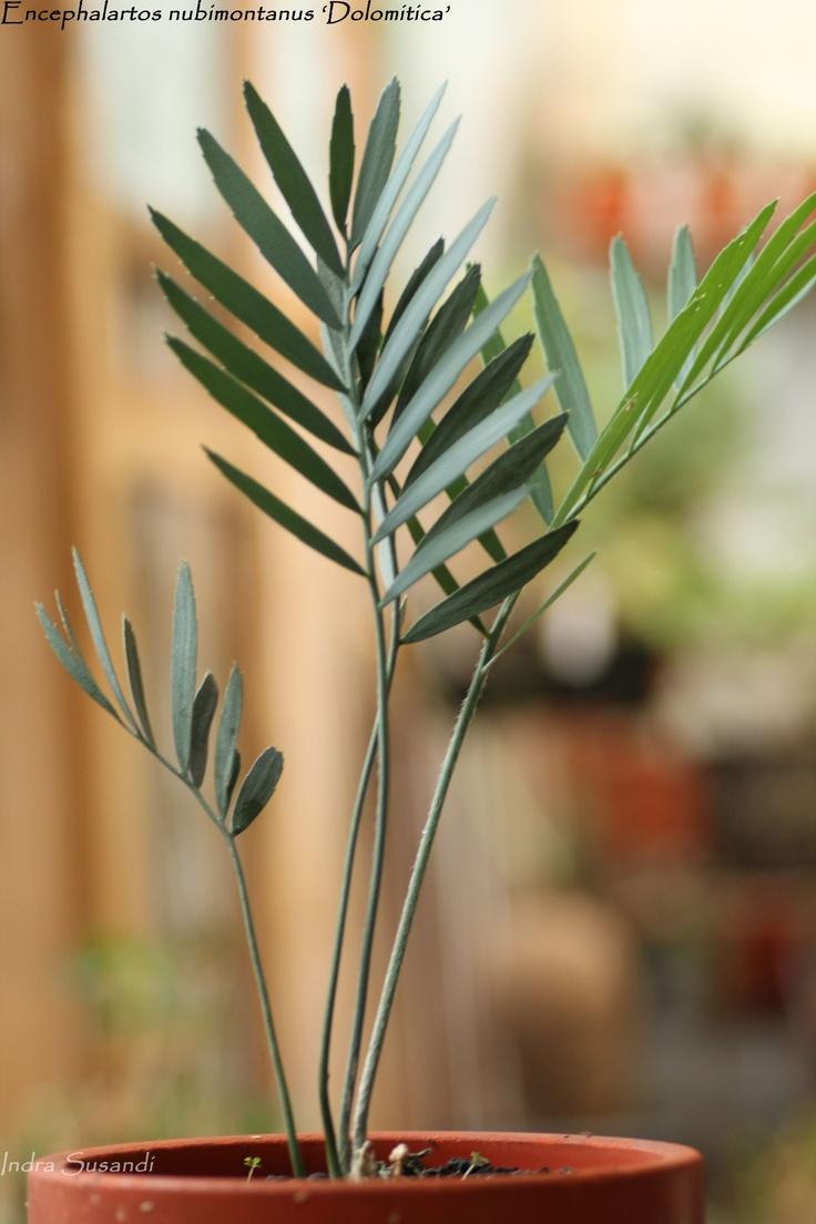 Encephalartos nubimontanus 'Dolomitica'
