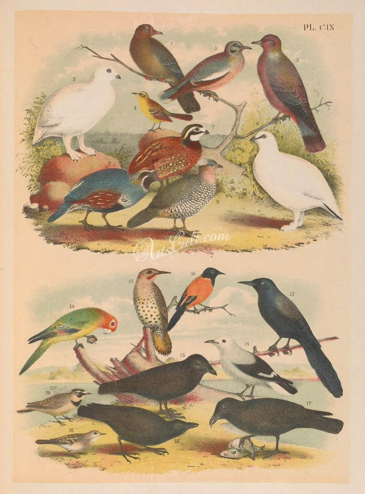 109-Red-billed Pigeon or Dove (1), White-winged Dove (2), Band-tailed Pigeon (3), Yellow Wagtail (4), White-tailed Grouse or Ptarmigan (5), Rock Grouse or Ptarmigan (6), Florida Qu   ...
